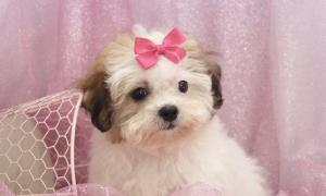 Beware of Online Puppy Scams